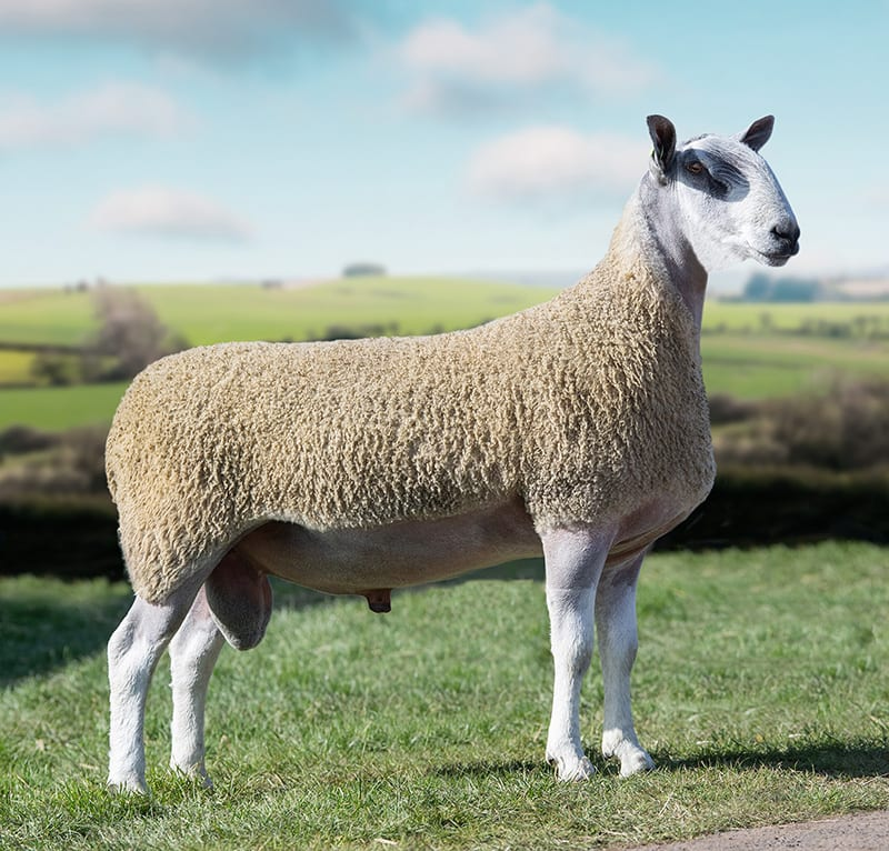 Traditional Bluefaced Sheep