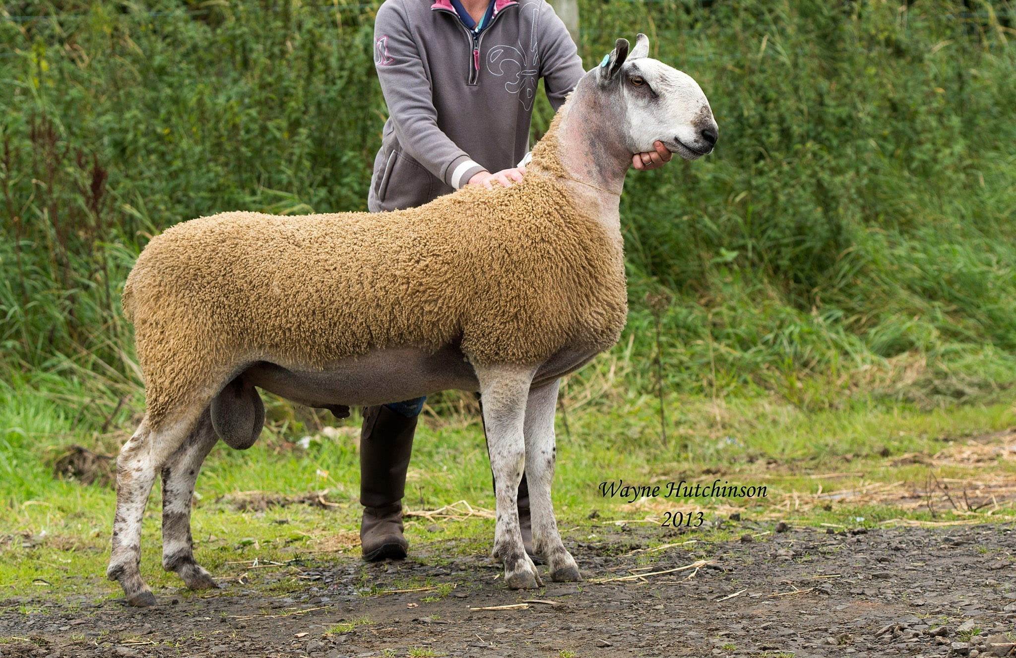 Ballymena Ram & Female Sale Sale Reports