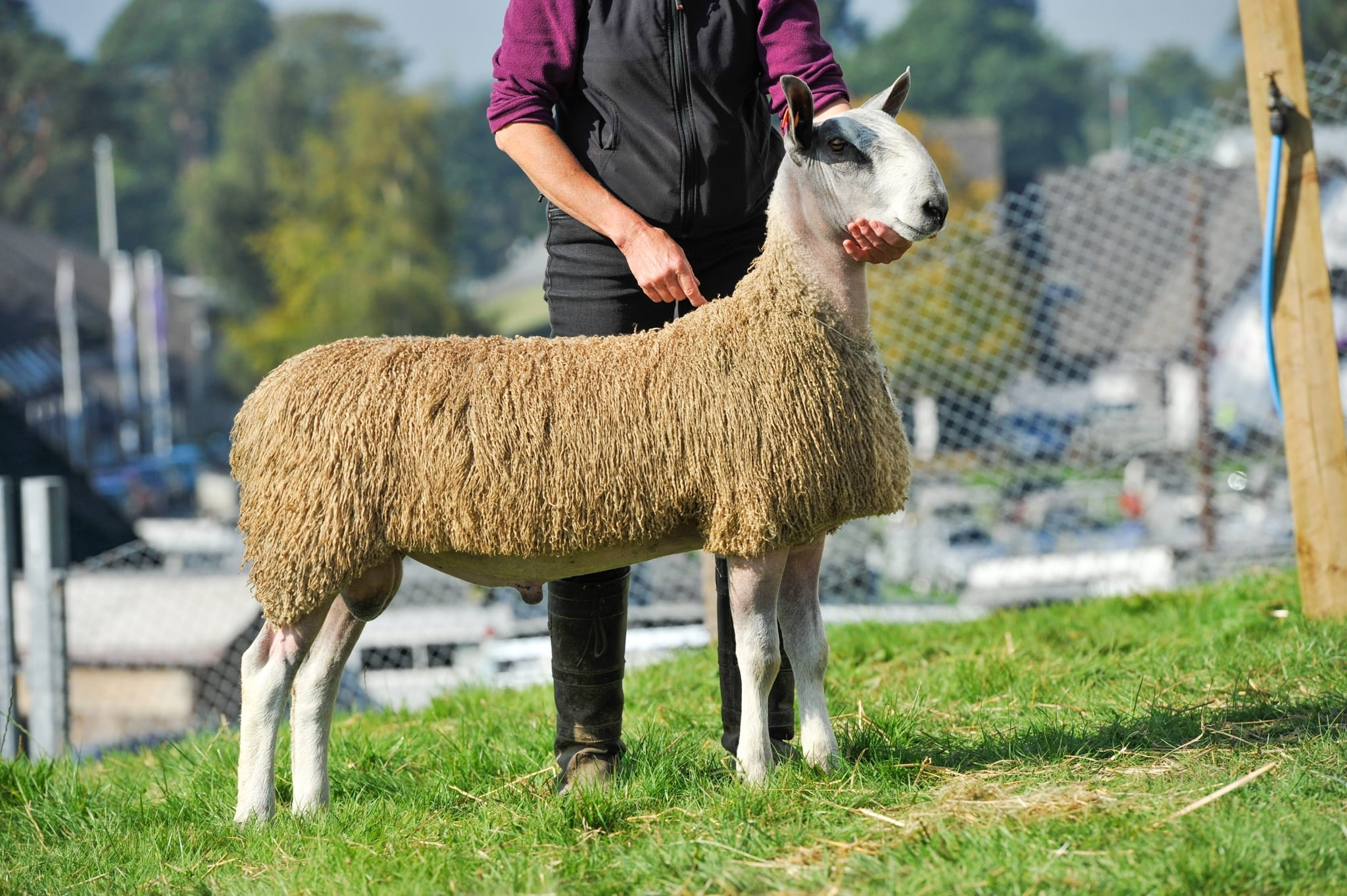NSA Wales & Border Ram Sale – Builth Wells Sale Reports