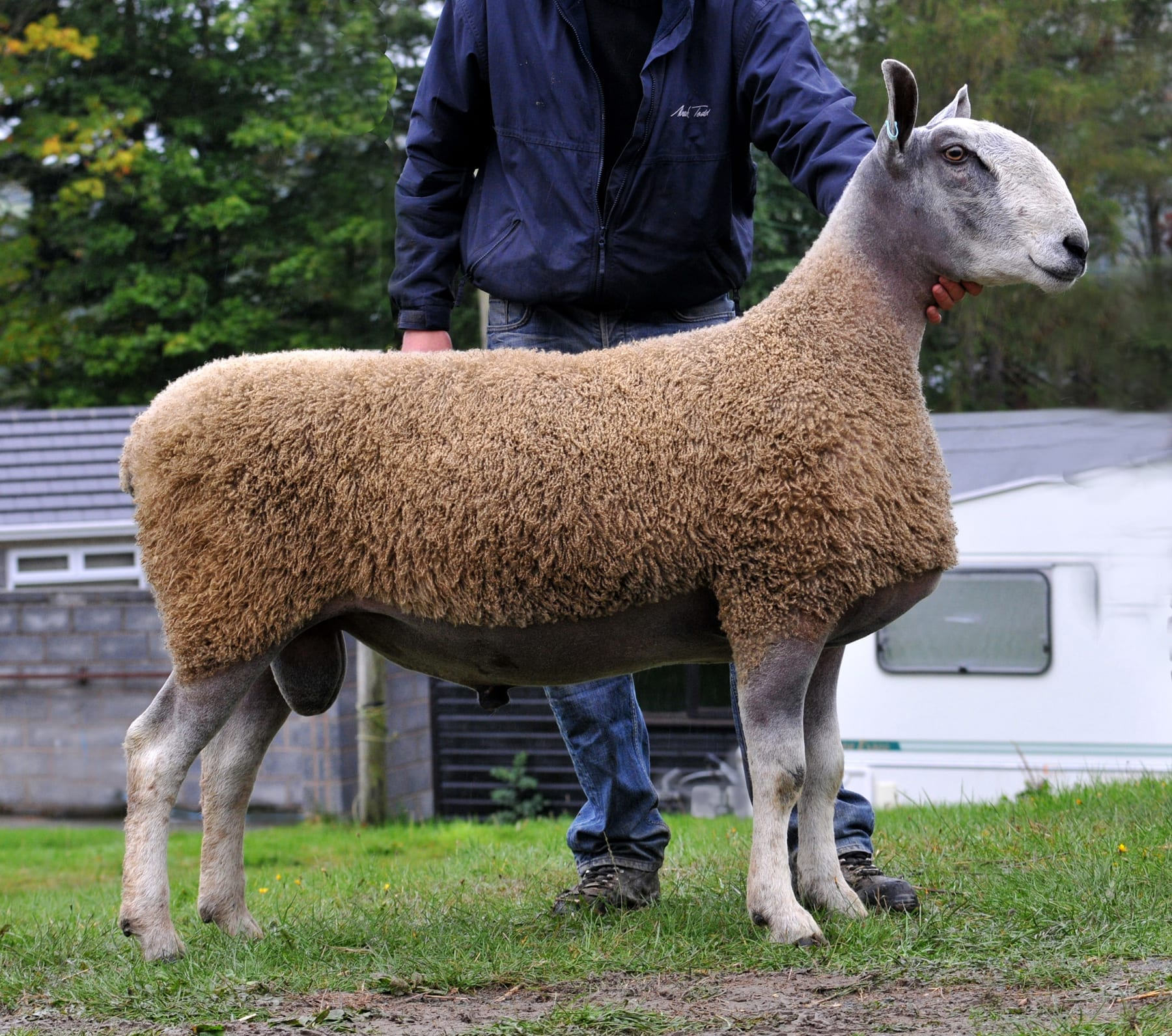 NSA Wales & Border Ram Sales – Builth Wells Sale Reports