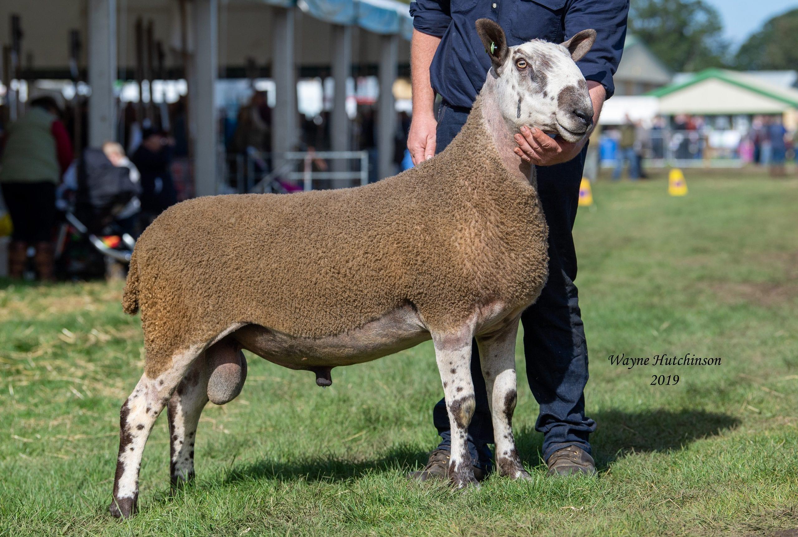 Lawrie & Symington Lanark Blues - Rams & Ram Lambs Image