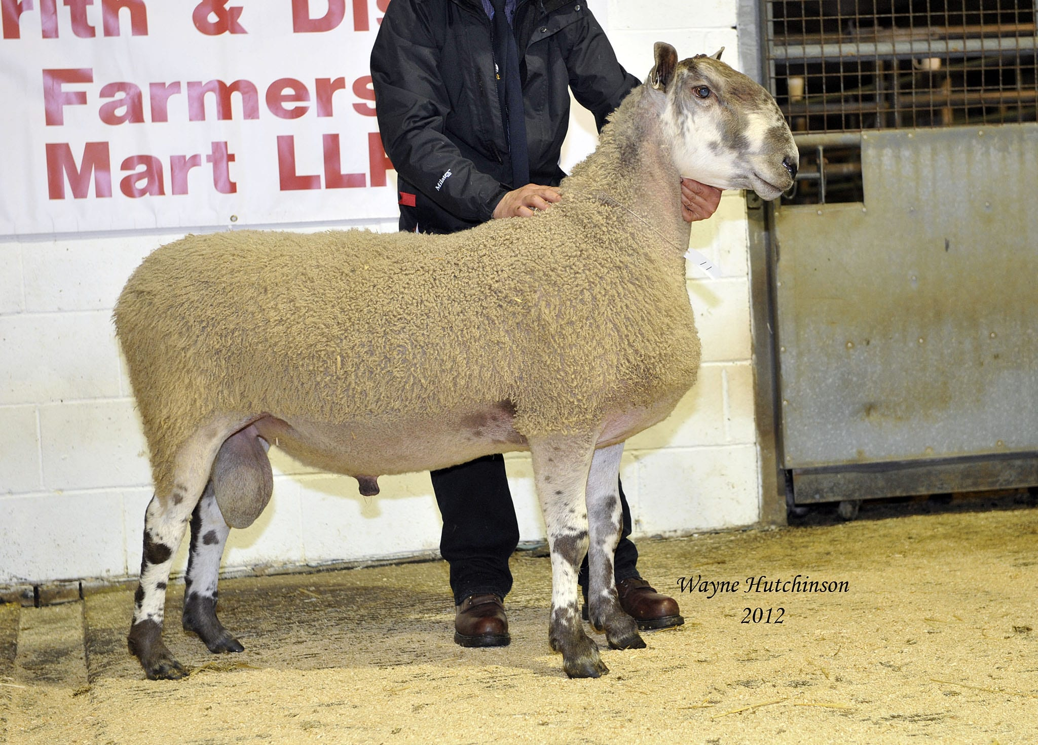 Penrith Ram & Female Sale Sale Reports