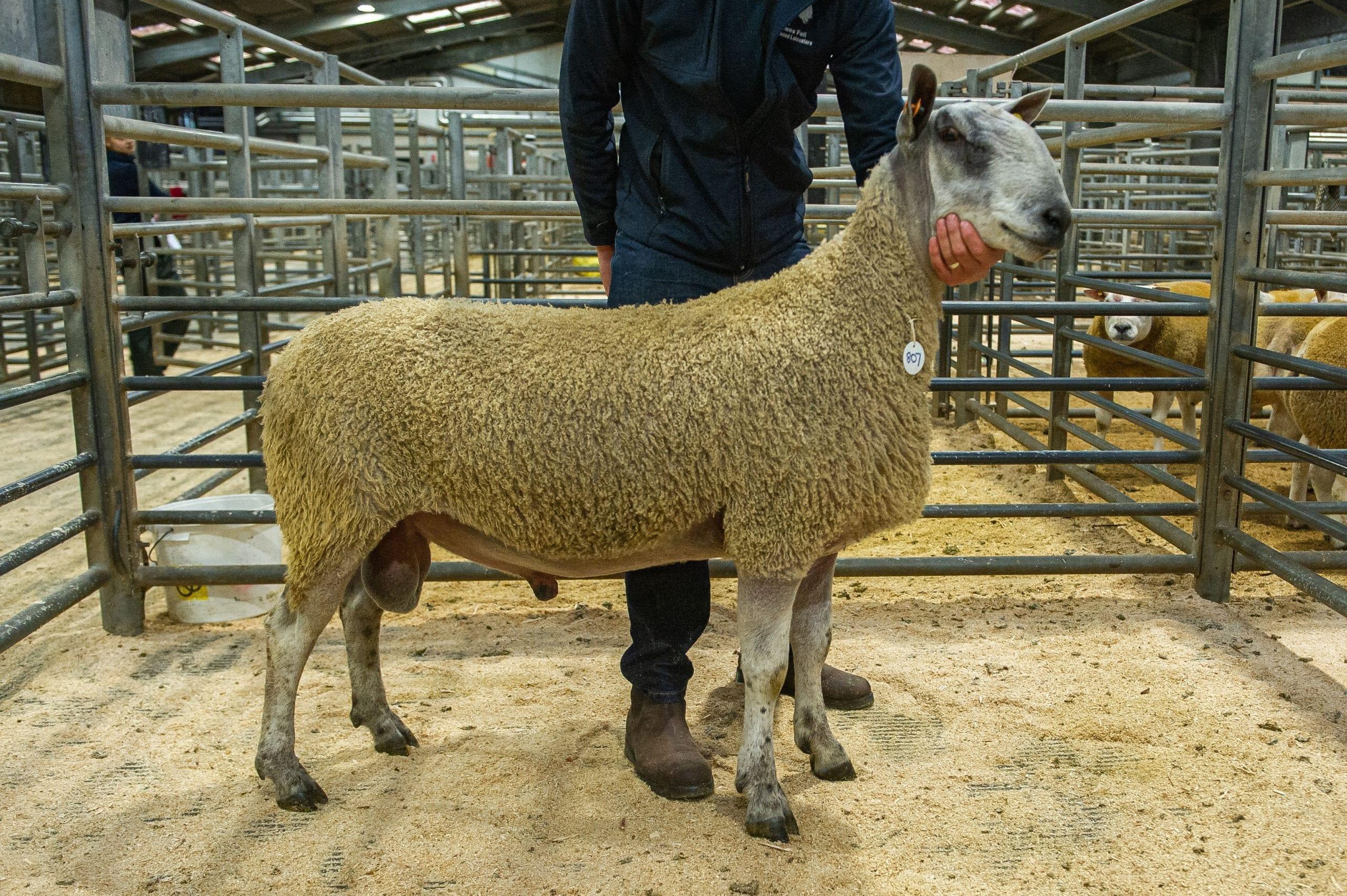 Hexham Rams & Females Image