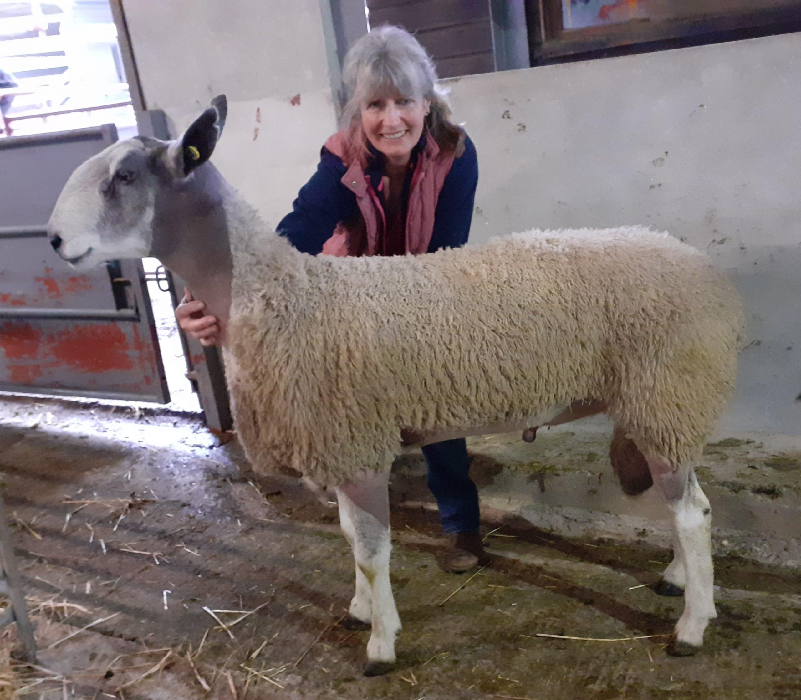 Tavistock Rams & Females Image